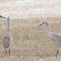 Sandhill cranes.- Sandhill Cranes in the Pacific Northwest