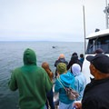 Humpback whales seen from a Santa Cruz whale watching tour.- Destination Santa Cruz: Your Gateway to the Outdoors