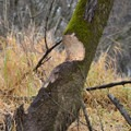 A beaver works on a cottonwood tree in Scappoose Bay.- Wednesday's Word - Sauvie