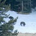 Wolves in the snow. Photo through the spotting scope.- Wolf Tracking in Yellowstone National Park