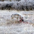 Wolf feeding. Photo through spotting scope.- Wolf Tracking in Yellowstone National Park