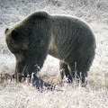Grizzly feeding on the wolf's kill. Photo through the spotting scope.- Wolf Tracking in Yellowstone National Park