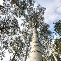 Massive aspen at Willow Heights.- 3-Day Itinerary for Big Cottonwood Canyon