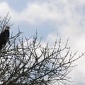 Bald eagle in a tree on Sturgeon Lake.- Wednesday's Word - Sauvie