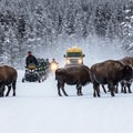 Like park visitors, bison in Yellowstone also use the packed snow on groomed roads to travel. Photo courtesy of West Yellowstone.- 3-Day Winter Adventure Itinerary for West Yellowstone
