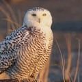 Snowy owl at Damon Point, common during the winter months.- Washington's 20 Best Beaches