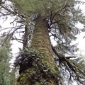 The Giant Spruce of Cape Perpetua.- Wednesday's Word - Yachats