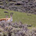 Curious pronghorns in Lamar Valley. Photo credit: Neal Herbert.- 5 Reasons to Visit West Yellowstone, Montana this Fall