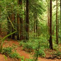 Explore redwood groves in Muir Woods.- Wednesday's Word - Tamalpais