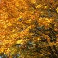 Bigleaf maple (Acer macrophyllum) in Washington County, Oregon.- 20 Great Fall Hikes in Oregon