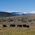 Buffalo grazing in the Lamar Valley.- Wolf Tracking in Yellowstone National Park