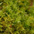 Yellow moss (Homalothecium fulgescens) and magnificent moss (Plagiomnium venustum).- An Ode to Moss!