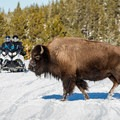 Be sure to yield to bison on the road. Photo courtesy of West Yellowstone.- 3-Day Winter Adventure Itinerary for West Yellowstone